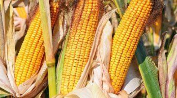 Кукуруза MTI 390 ФАО 390-400