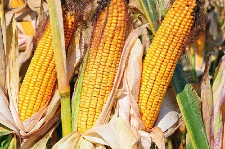 Кукуруза MTI 195 MRf ФАО 190-200