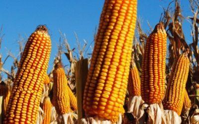 Кукуруза MTI 244 MRf ФАО 250-270