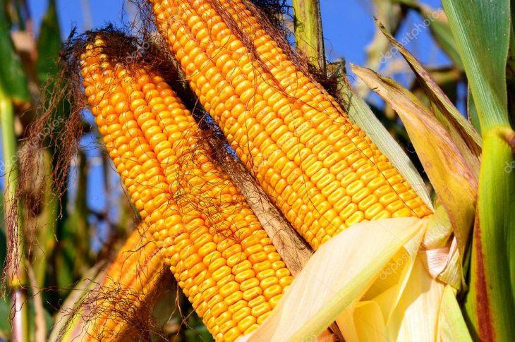 Кукуруза MAG ФАО 290-300