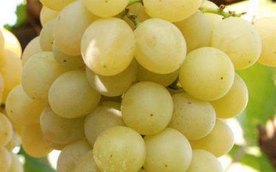 Виноград сорт МУСКАТ ИТАЛИЯ