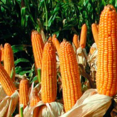 Семена кукурузы для России