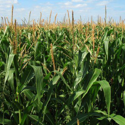 Семена кукурузы для Молдовы