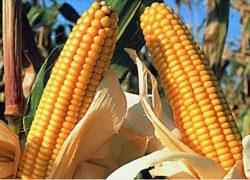 Кукуруза MTI 390 MRf ФАО 390