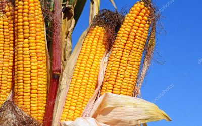 Кукуруза Sbruch MRf