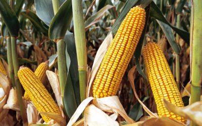 кукуруза UNION  ФАО 400