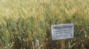 """Пшеница озимая """"Благодарка одесская"""" (элита, первая репродукция)"""