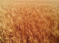 """Пшеница озимая """"Зыск"""""""
