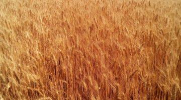 """Пшеница озимая """"ЗЫСК"""" (элита, первая репродукция)"""