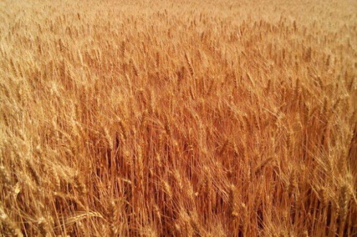 """Пшеница озимая """"Куяльник""""(элита, первая репродукция)"""