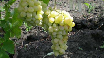 Виноград сорт РЕДЖИНА
