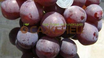 виноград РАШФОР