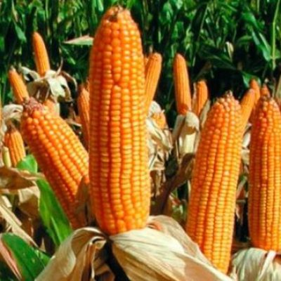 Семена кукурузы районированные в республике Беларусь